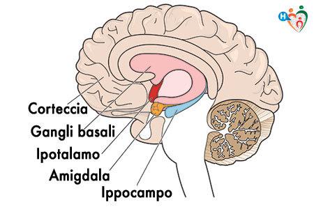 Immagine che mostra le diverse parti di un cervello