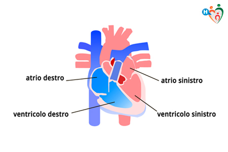 anatomia del cuore