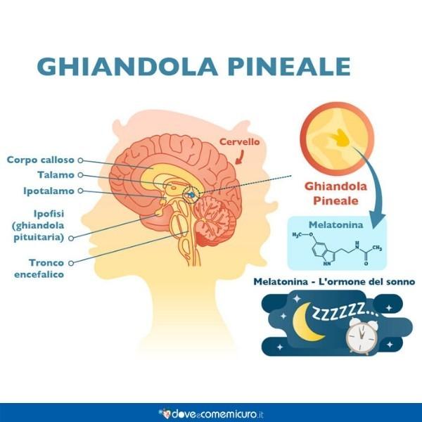 Infografica che ritrae l'interazione della melatonina con la ghiandola pineale