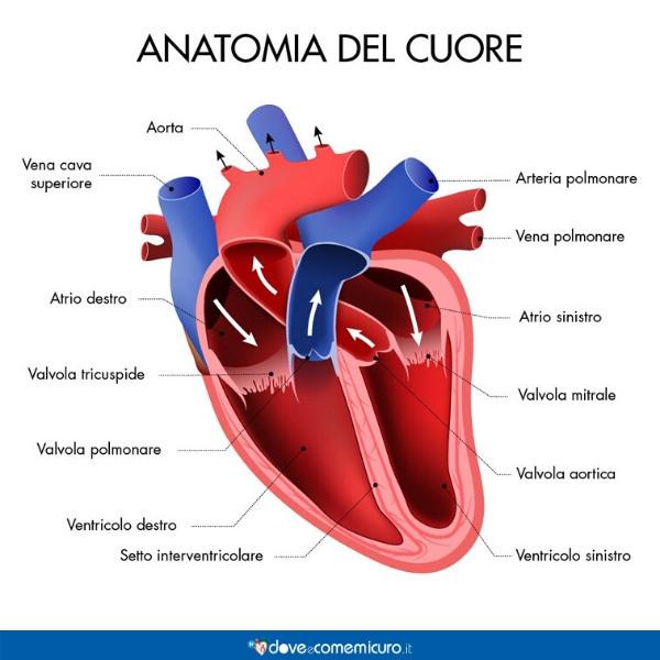 Infografica che illustra l'anatomia del cuore