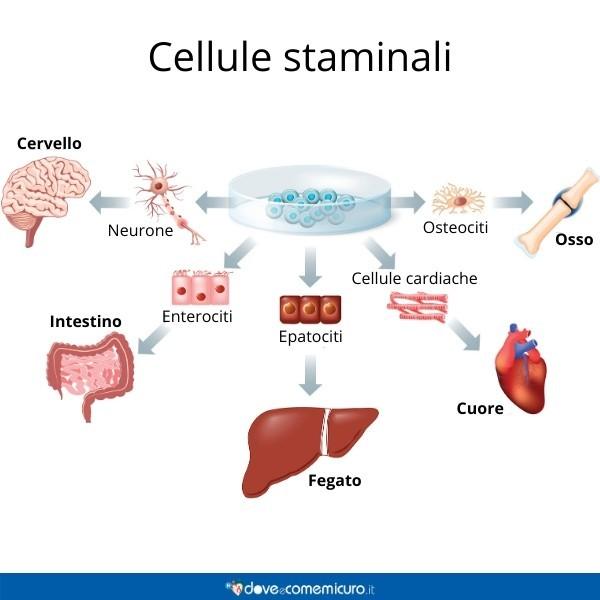 Infografica che mostra il ruolo delle cellule staminali per ogni organo umano