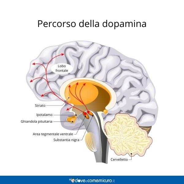 Immagine che mostra il percorso della dopamina nel cervello umano