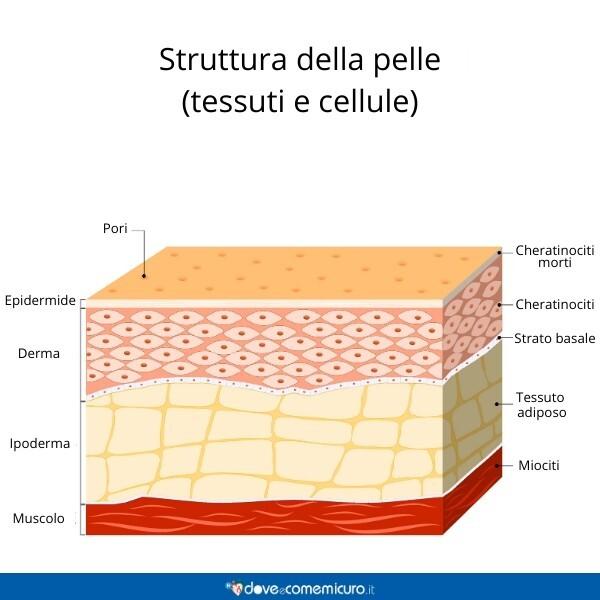 Immagine che mostra la struttura e le funzioni della pelle, dall'epidermide al tessuto sottocutaneo