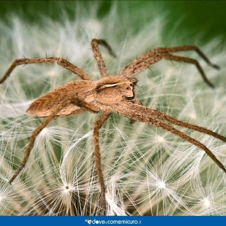 Immagine che mostra un esemplare di Loxosceles rufescens o ragno violino