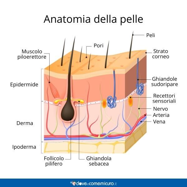 Immagine che mostra l'anatomia della pelle e le parti che la compongono