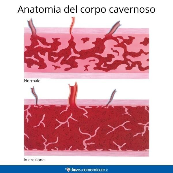 Immagine che mostra l'anatomia di un corpo cavernoso