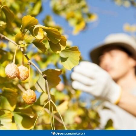Immagine che ritrae una donna che raccoglie frutti di ginkgo biloba