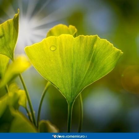 Immagine che ritrae alcune foglie di ginkgo biloba L.
