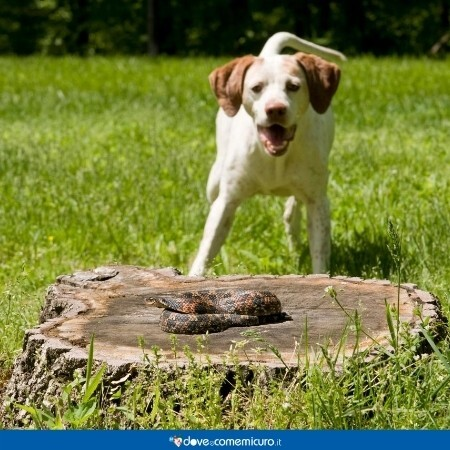 Immagine che mostra una vipera in procinto di mordere un cane