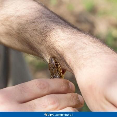 Immagine di una vipera che morde il braccio di un uomo