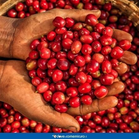 Immagine che mostra una mano di un coltivatore in un contenitore pieno di semi di coffea arabica