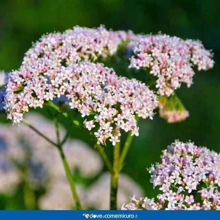 Immagine che mostra fiori di valeriana