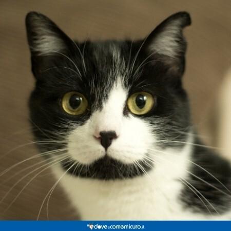 Immagine che mostra un gatto adulto affetto da immunodeficienza felina