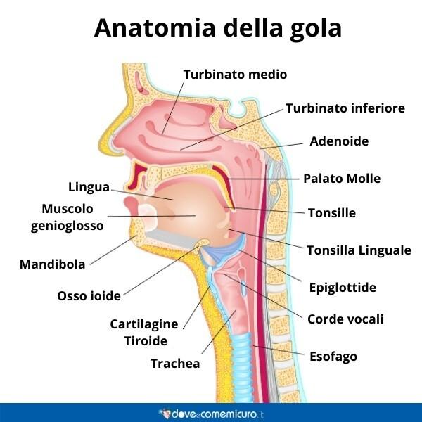 Immagine infografica ch rappresenta l'anatomia della gola