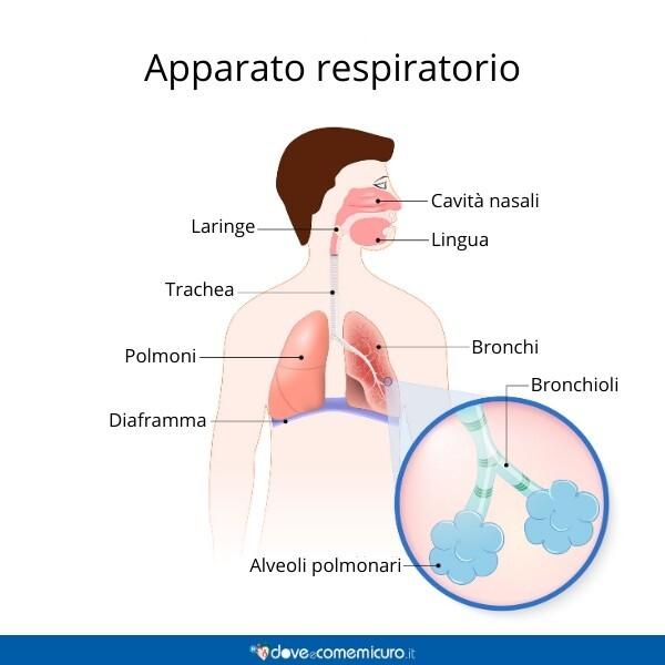 Immagine infografica che rappresenta com'è formato l'apparato respiratorio di un essere umano