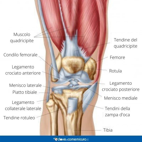 Immagine infografica che rappresenta l'anatomia del ginocchio
