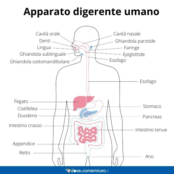 Immagine infografica che rappresenta l'apparato digerente umano