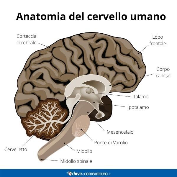 Immagine infografica che rappresenta l'anatomia e le parti del cervello umano