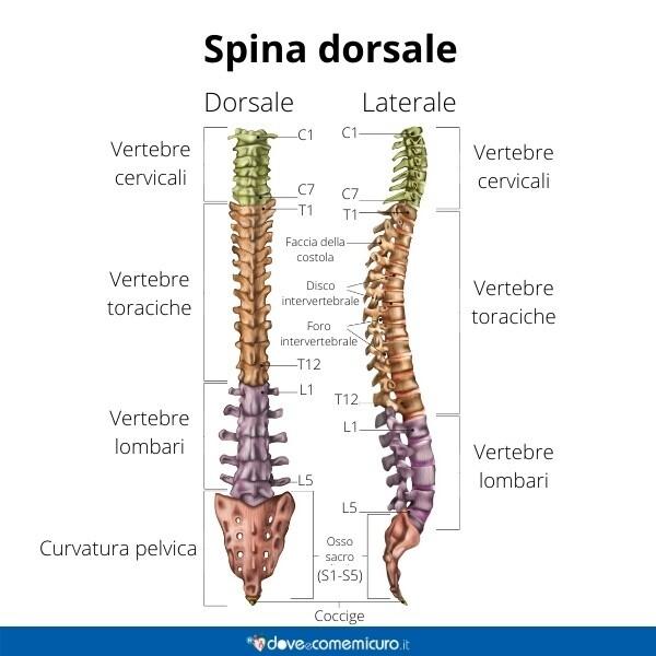 Immagine infografica che rappresenta la spina dorsale