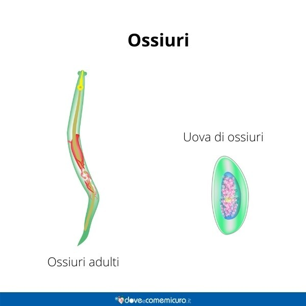 Immagine infografica che rappresenta ossiuri adulto e uova