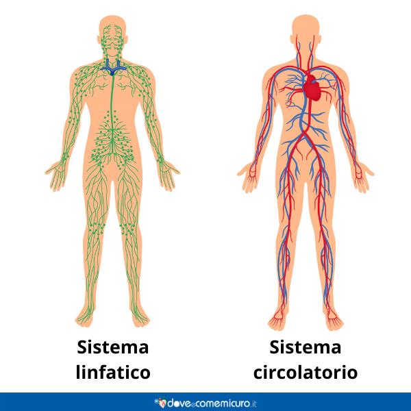 Immagine infografica che rappresenta il sistema linfatico e circolatorio