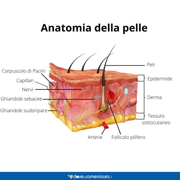Immagine infografica che rappresenta l'anatomia della pelle umana