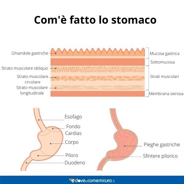 Immagine infografica che rappresenta l'anatomia di come è fatto uno stomaco