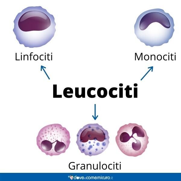 Immagine infografica che rappresenta i linfociti