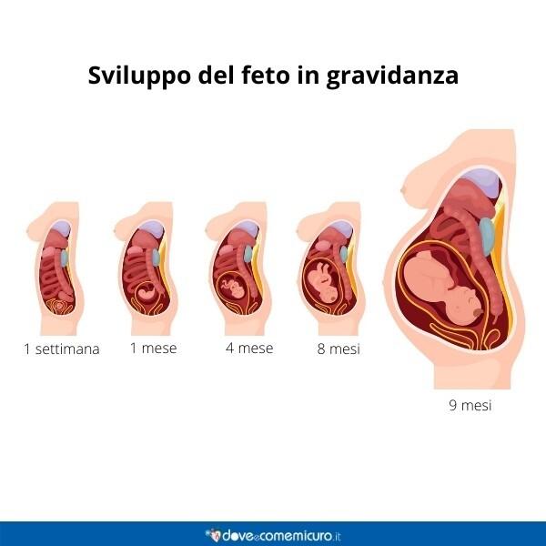 Immagine infografica che rappresenta le fasi di sviluppo del feto in gravidanza