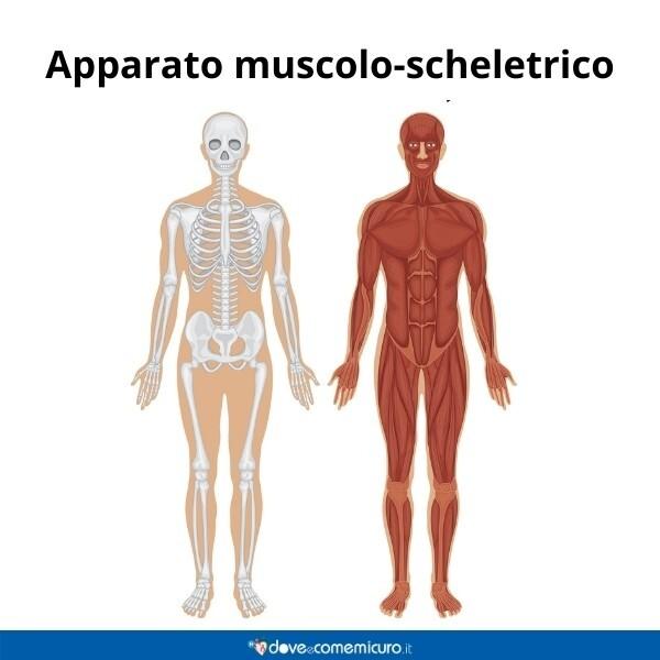Immagine infografica che rappresenta l'apparato muscolo-scheletrico di un giovane uomo adulto