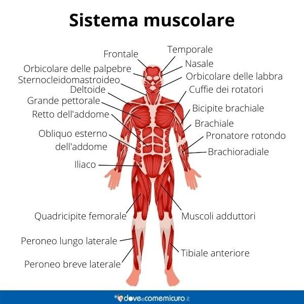 Immagine infografica che rappresenta l'apparato muscolare di un giovane uomo adulto