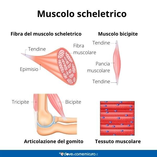 Immagine infografica che rappresenta un muscolo-scheletrico di un essere umano