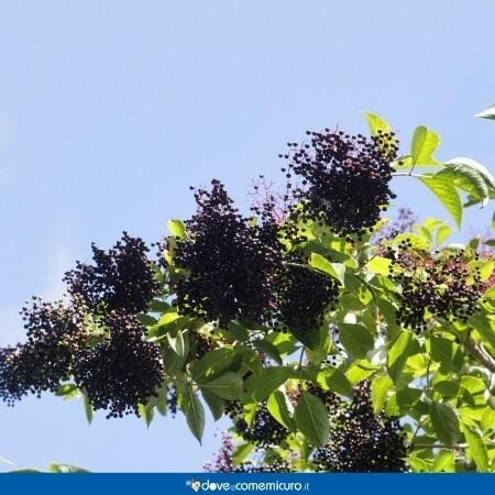 Immagine che rappresenta un arbusto con le bacche di sambuco