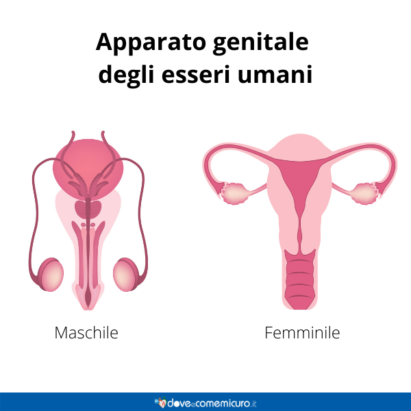Immagine infografica che rappresenta l'apparato genitale maschile e femminile