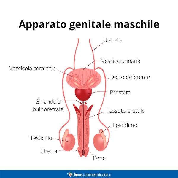 Immagine infografica che rappresenta l'apparato genitale maschile