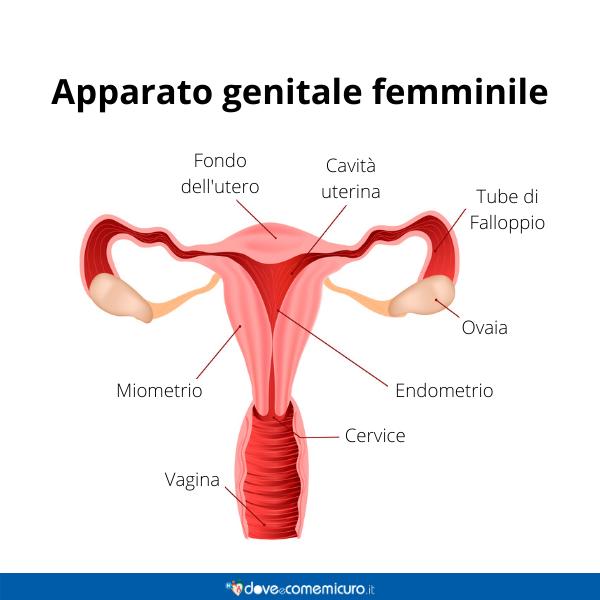 Immagine infografica che rappresenta l'apparato genitale  femminile