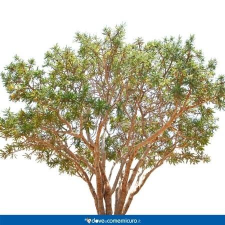 Immagine che rappresenta la Boswellia serrata Roxb. ex Colebr