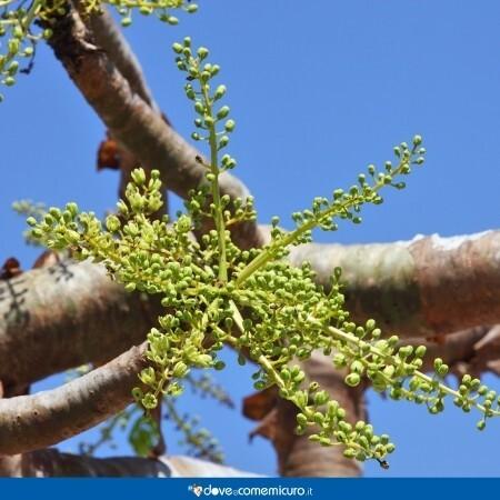 Immagine che rappresenta la foglia della pianta Boswellia serrata Roxb. ex Colebr