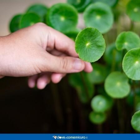 Immagine che rappresenta delle foglie di Centella asiatica