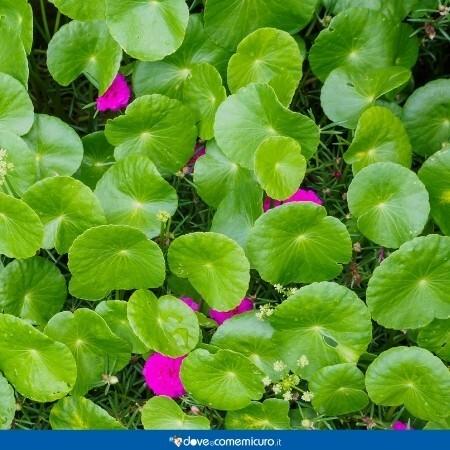 Immagine che rappresenta dei fiori nella pianta di centella asiatica