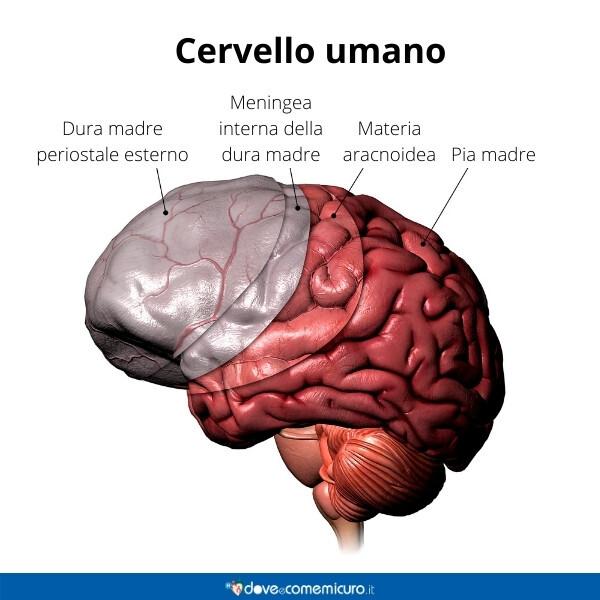Immagine infografica che rappresenta la posizione delle meningi