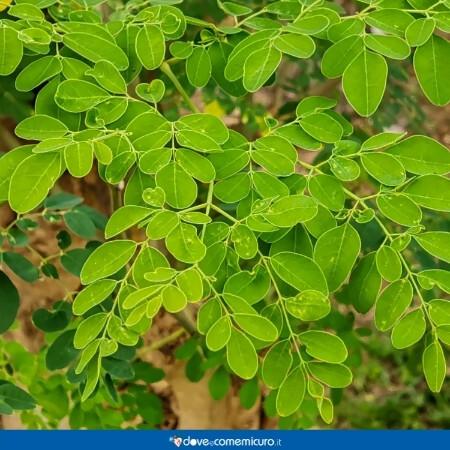 Immagine che rappresenta foglie di Moringa oleifera Lam. (Albero del rafano)