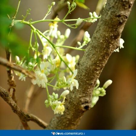 Immagine che rappresenta i fiori di Moringa oleifera