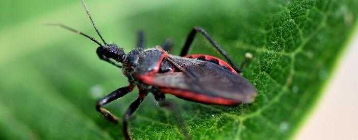 Malattia di Chagas: come si cura il parassita del bacio?