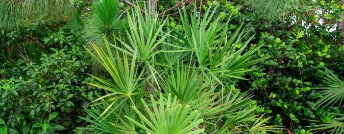 Serenoa repens (W.Bartram) Small: uso, impiego e effetti collaterali