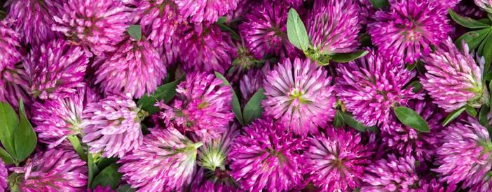 Trifoglio Rosso (Trifolium pratense L.): proprietà e benefici