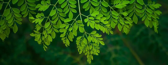 Moringa oleifera Lam. (Albero del rafano): costituenti e impieghi fitoterapici